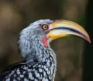 Hornbill faturado amarelo do sul Foto de Stock