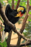 Hornbill froissé image stock
