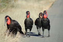 Hornbill gang. A group of southern ground hornbills Royalty Free Stock Photo