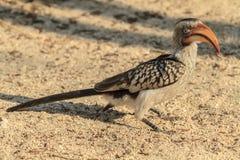 Hornbill Giallo-fatturato Immagini Stock