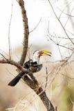 hornbill Giallo-fatturato Fotografie Stock Libere da Diritti