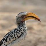 Hornbill Giallo-fatturato del sud Fotografia Stock Libera da Diritti
