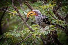 Hornbill giallo-fatturato orientale immagini stock libere da diritti