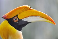 Hornbill grand Images libres de droits