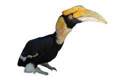 Hornbill grand d'isolement sur le blanc Photo libre de droits