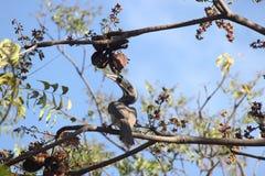 Hornbill gris Imagenes de archivo