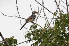 Hornbill gris en el cepillo Fotografía de archivo libre de regalías