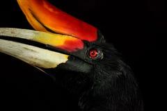 Hornbill head portrait Stock Photo