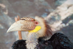 Hornbill head with thick bill Stock Image