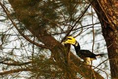 Hornbill. The hornbill hold a lizard in beak Royalty Free Stock Photography
