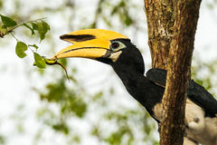 Hornbill Royalty Free Stock Photo