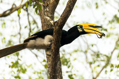 Hornbill. Hold a lizard in the beak Stock Photos
