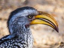 Hornbill. In the Central Kalahari Game Reserve, Botswana Stock Photography