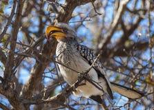 Hornbill. In the Central Kalahari Game Reserve, Botswana Stock Photo