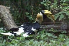 Hornbill i en aviarium i en zoo royaltyfri fotografi