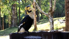 Hornbill i nationalparken på Thailand arkivfilmer