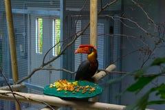 Hornbill i zoo royaltyfria bilder