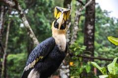 Hornbill im wilden Stockfotografie