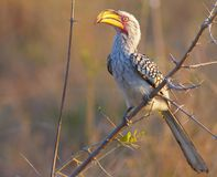 Hornbill Jaune-affiché méridional Photographie stock libre de droits