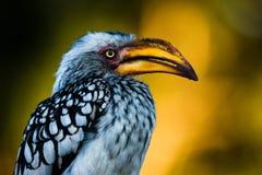 Hornbill jaune-affiché oriental Photographie stock libre de droits