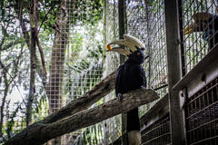 A hornbill julang sulawesi holding a piece of fruit on his bill photo taken in Jakarta Indonesia Stock Images