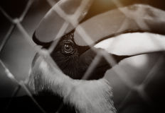 Hornbill is locked in a cage. Stock Images