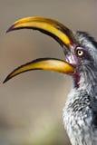 Hornbill mandado la cuenta amarillo Foto de archivo libre de regalías