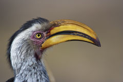 Hornbill mandado la cuenta amarillo Fotografía de archivo