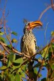 Hornbill Namibia Royaltyfri Fotografi