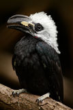 Hornbill in the nature habitat. Western Long-tailed Hornbill, Horizocerus albocristatus, sitting on the branch in the tropic fores Stock Image