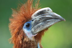 Hornbill Nero-casqued fotografia stock libera da diritti