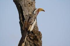 Hornbill op boomstomp Royalty-vrije Stock Foto's