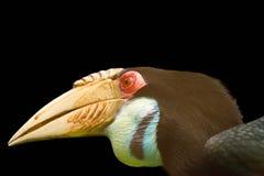 Hornbill op zwarte achtergrond wordt geïsoleerd die royalty-vrije stock afbeelding