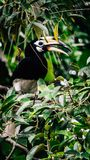 Hornbill royalty free stock image