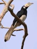 Hornbill på den Pangkor ön (Malaysia) fotografering för bildbyråer