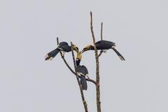 Hornbill pezzato orientale Immagini Stock Libere da Diritti