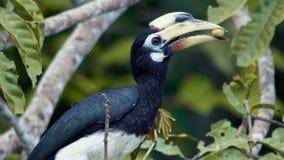 Hornbill pezzato orientale archivi video