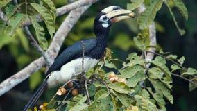 Hornbill pezzato orientale stock footage