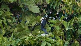 Hornbill pezzato orientale video d archivio