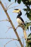 Hornbill pie de Malabar Photo libre de droits