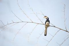 Hornbill pie de Malabar Photographie stock libre de droits