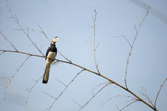 Hornbill pie de Malabar Image libre de droits