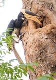 Hornbill pied de Malabar Imagem de Stock Royalty Free