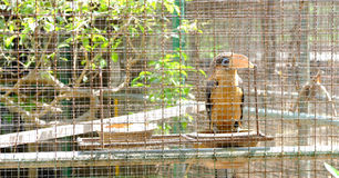 Hornbill Pied oriental bonito que está no ramo em uma gaiola imagens de stock royalty free