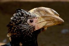Hornbill plateado-cheeked - Bycanistes breve entre la vegetación Foto de archivo
