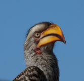 Hornbill portrait Royalty Free Stock Photo