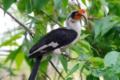 Hornbill que senta-se na árvore Fotos de Stock Royalty Free