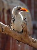 Hornbill Rojo-cargado en cuenta foto de archivo libre de regalías
