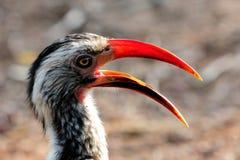 Hornbill Rojo-mandado la cuenta meridional Fotos de archivo libres de regalías