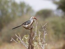 hornbill Rosso-fatturato Fotografie Stock Libere da Diritti